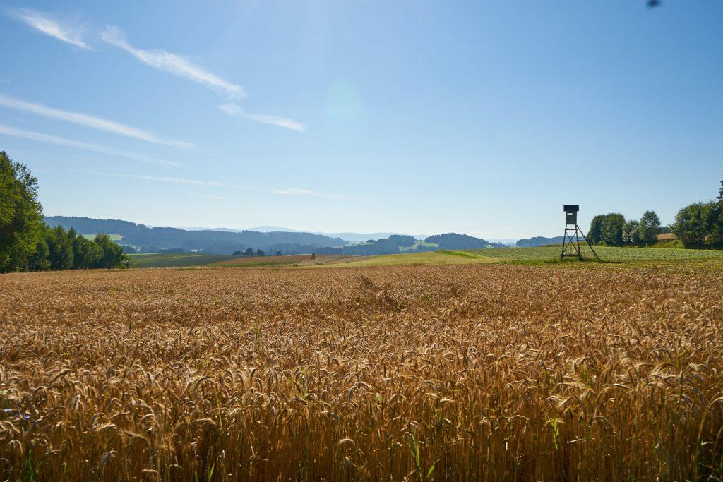 Ein schönes Kornfeld