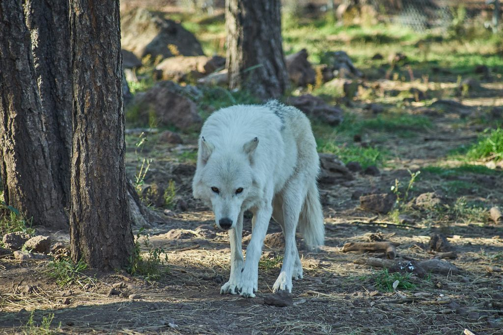 Ein weißer Wolf