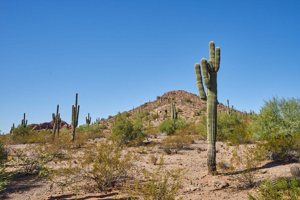 Ein Kaktus im Desert Botanical Garden Phoenix
