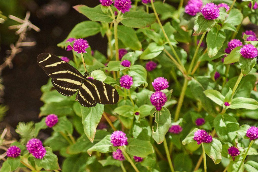 Ein Schmetterling im Schmetterlingshaus.