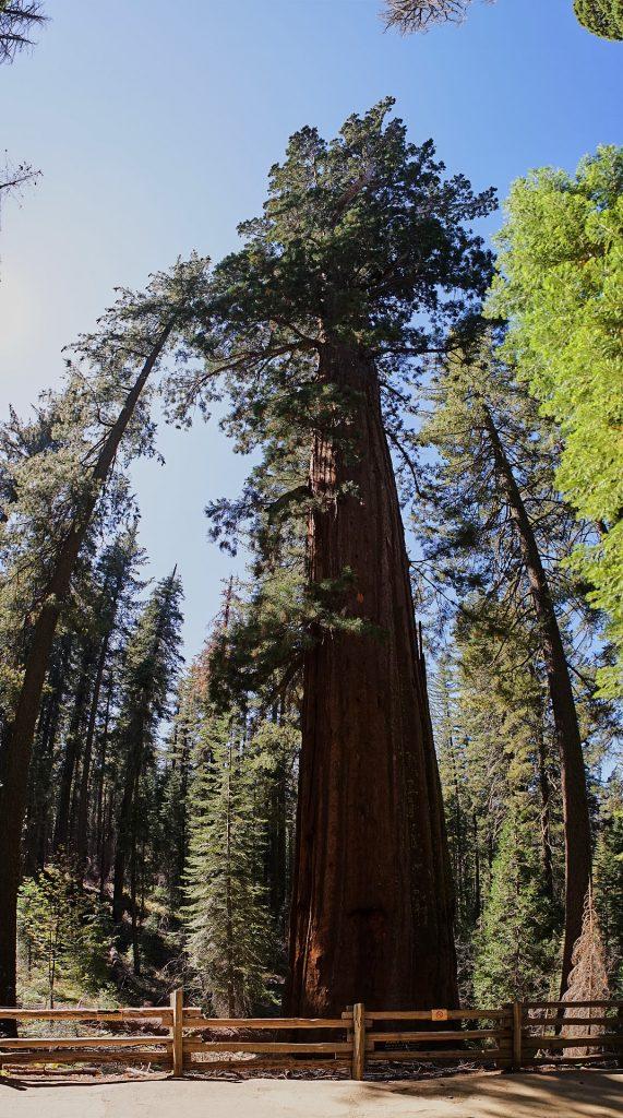 Ein Hochformat-Panorama eines Sequoia-Baumes. | Yosemite Reisebericht