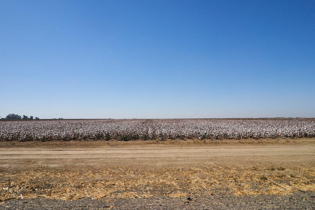 Ein Baumwollfeld.
