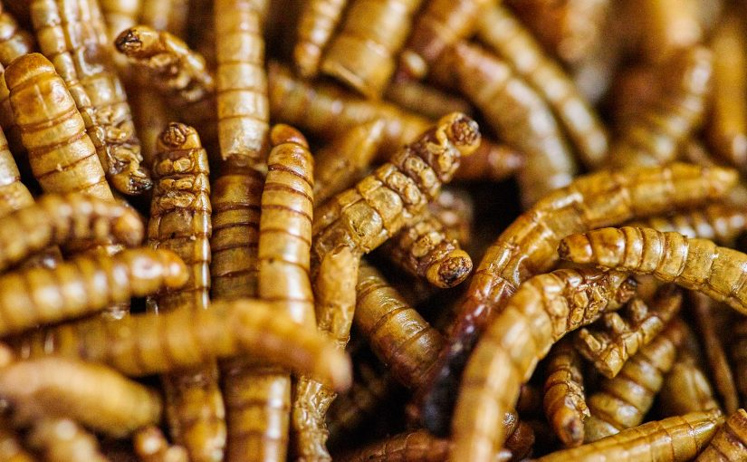Übers Insekten essen (inklusive Mehlwurmburger-Rezept)